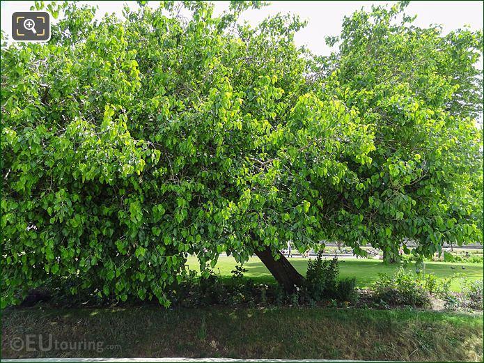 White Mulberry Tree Jardin Tuileries