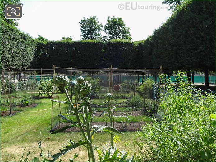 Artichokes In Tuileries Vegetable Garden