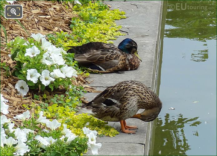 Mallard Ducks And Exedre Nord Water Feature