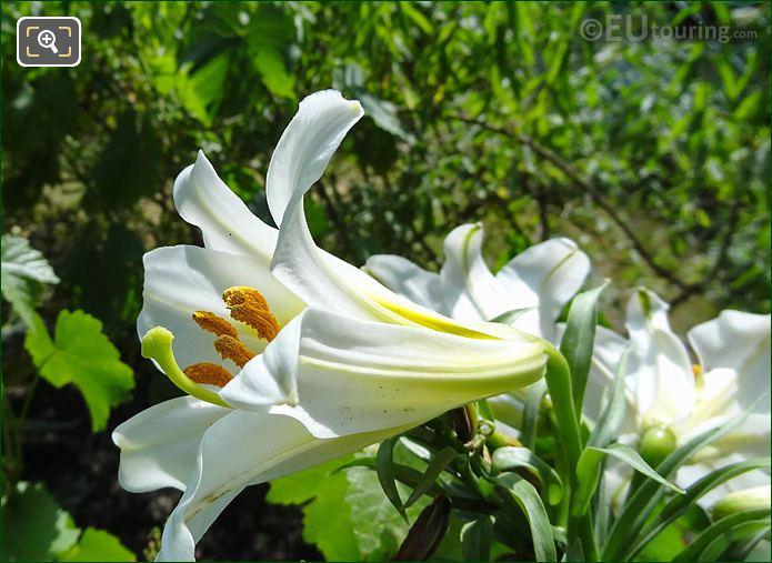 Macro Photo White Lily Jardin Des Tuileries