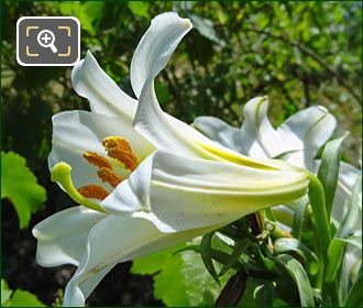 Tuileries Garden Flower