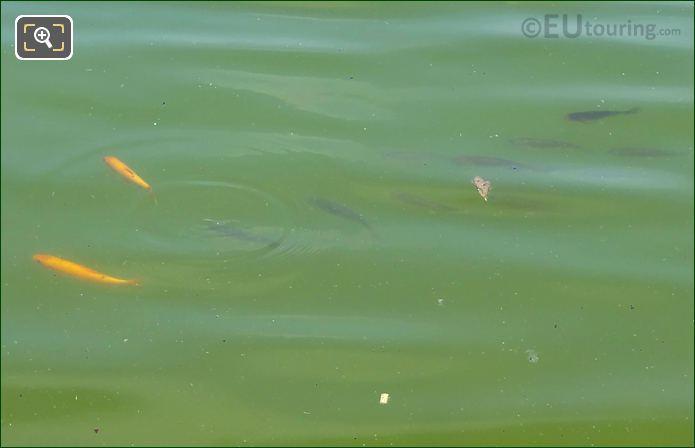 Fish Within SE Pond Vivier Sud